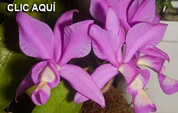 orquidea01